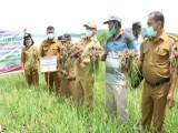 Pemkab Taput Panen Perdana Penakaran Bawang Merah